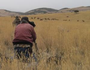 1111 Elk Herd Winecup Gamble Ranch