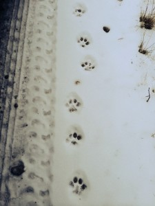 1411 Lion track near Ely