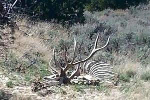 150329 Elk Head-sm